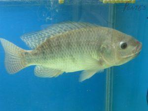 Tilapia du Nil (Oreochromis niloticus)